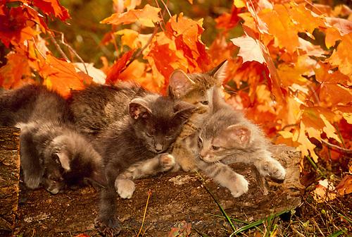 Pile of kittens among fall leaves