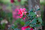 Camellia, Camellia reticulata 'FRANK HAUSER',  at Mercer Arboretum and Botanical Gardens in Spring, Texas.
