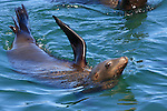 California sea lion, Santa Cruz