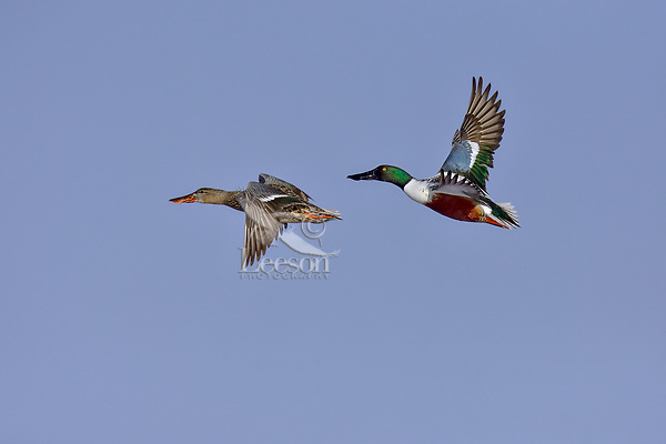 Northern Shoveler (Anas clypeata) pair flying.  Oregon-California border.  Late winter/early spring.