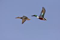 Northern Shoveler (Anas clypeata) pair flying.  Oregon-California border.  Late winter/early spring.