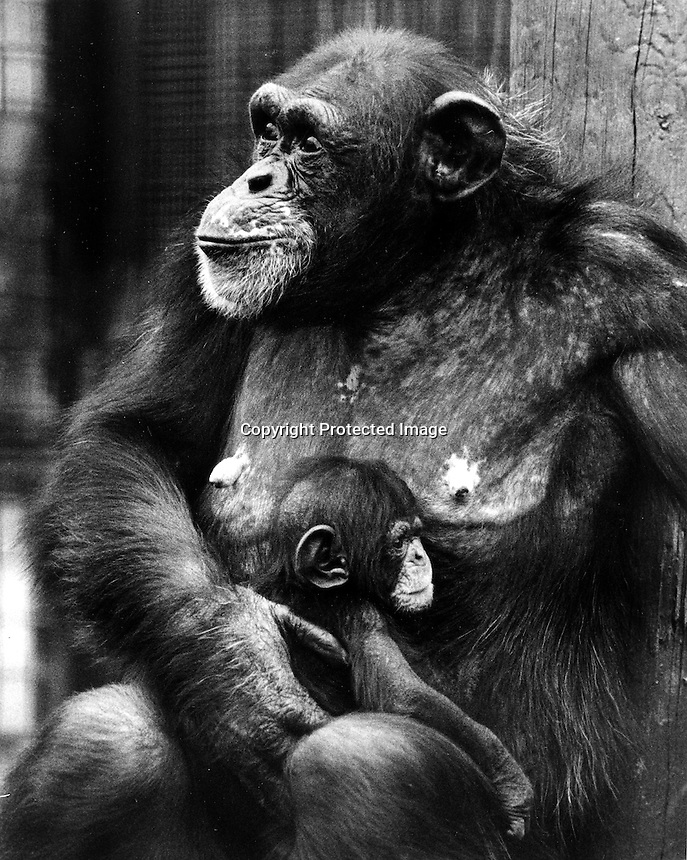 First baby Chimpanzee born at the Oakland Zoo<br />