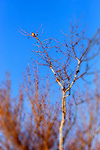 Kestrel high up in a tree, Upper Newport Bay, CA