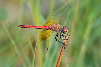 362700025 a wild male band-winged meadowhawk sympetrum semicintum perches on a stick near bishop inyo county california