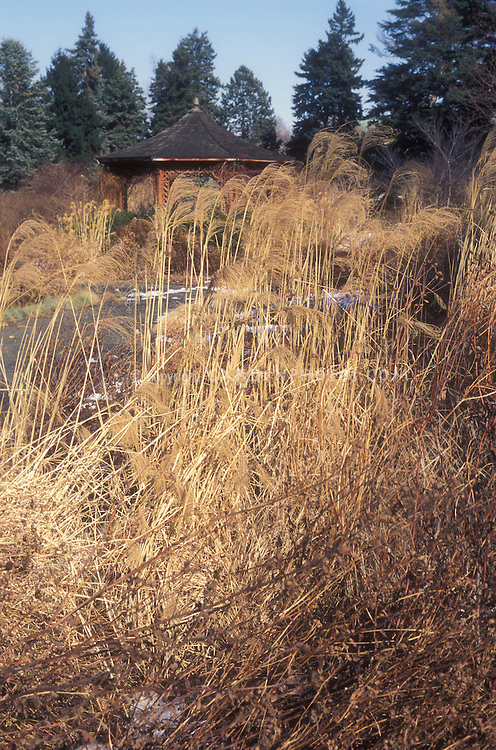 Miscanthus sinensis 'Morning Light' in winter garden seedheads ornamental grass