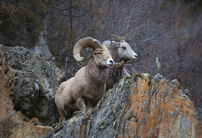 Bighorn Sheep ram and ewe on rocky cliff side in Montana