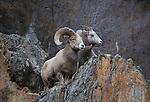 Bighorn Sheep ram and ewe on rocky cliff side in Montana