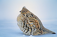 538988004 a wild ruffed grouse bonasa umbellus sits in a snowbank in yellowstone national park wyoming
