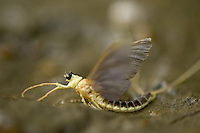 Mayfly (Palingenia Longicauda) in the river Tisza, Hungary, June 2009.