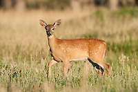 Whitetail deer (Odocoileus virginianus)fawn in late summer