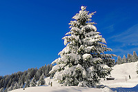 Pine trees in the snow at Grindelwald First