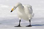 Whooper swan, Cygnus cygnus, standing on ice, lake Kussharo-ko, Hokkaido Island, Japan, japanese, Asian, wilderness, wild, untamed, ornithology, snow, graceful, majestic, aquatic. .Japan....
