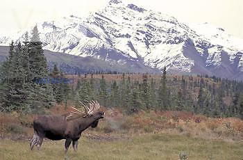 Bull Moose rutting, lip curl (Alces alces gigas) Alaska, USA