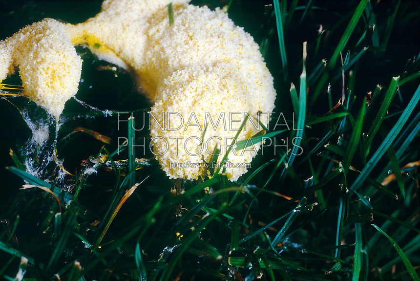 SLIME MOLD<br />