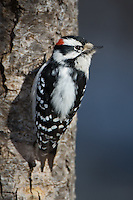 Male Downey Woodpecker perched on a tree
