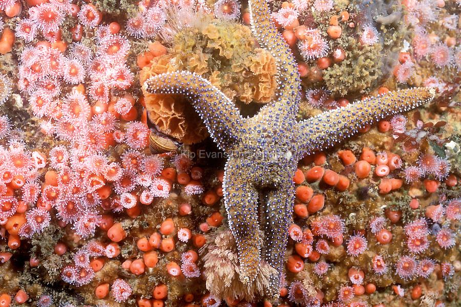 Ochre Sea Star (Pisaster ochraceus) among Strawberry Anemone (corynactis californica)