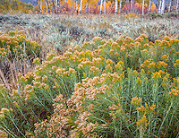 Grand Teton National Park, WY: Gray rabbitbrush (Ericameria nauseosa) in fall with sage and aspen grove.