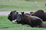 Resting musk oxen