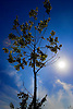 Digital.  19/06/07 -  Tree with sun and blue sky in Holland  (c) Vicens Giménez