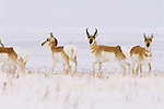 Pronghorn, Harding County, South Dakota.  A roaming band of four females and one male pronghorn pause to investigate while foraging below the snow for yet tender plant parts on a high grassland bench in a remote part of northwestern South Dakota. Like deer, elk and bison, Pronghorn gather up in large numbers during winter, eking out an existence in the rugged winters in the northern Great Plains. Built for speed, the pronghorn is the fastest land mammal in North America and can reach speeds of 60 mph and evolved specifically on the Great Plains with no similar relatives anywhere else in the world.