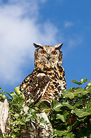 Cape Eagle Owl (Bubo capensis)