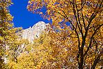 The Lost Arrow and Yosemite Point Buttress through fall color, Yosemite National Park, California
