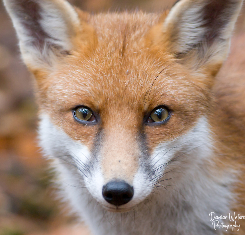 red fox face and - photo #35