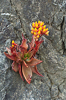 Canyon Liveforever (Dudleya cymosa), California, USA