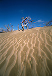 Sand dunes and dead trees at Ohira. Chatham Islands. New Zealand. Vertical format.