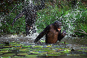 Bonobo adolescent male throwing water over an adult male (Pan paniscus), Lola Ya Bonobo Sanctuary, Democratic Republic of Congo.