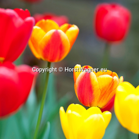 Brussels-Belgium - April 16, 2012 -- Tulips, red and yellow -- Photo: © HorstWagner.eu