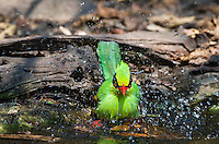 A Green Magpie (Cissa chinensis) splashes while bathing at a watering hole. (Kaeng Krachan, Thailand)