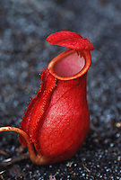 Pitcher Plant (Nepenthes sp.), Madagascar, Africa