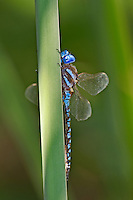 339360024 a wild blue-eyed darner rhionaeschna multicolor perches on a cattail reed along piru creek in los angeles couny california