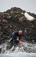 Europe/France/Bretagne/56/Morbihan/ Belle-Ile-en-Mer/Bangor: récolte des Pouce-pied
