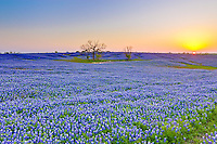 Vast field of bluebonnet flowers, Texas state flower, along the Bluebonnet Trail in Ennis, Texas.
