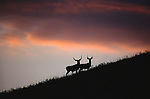 Custer State Park, South Dakota. A pair of mule deer bucks crest a windswept prairie ridgeline at sunset in early October. Most easily distinguished from the whitetail deer by their large, mule-like ears, mule deer are prevalent throughout the West, generally found in the more arid habitats and higher elevations of the western Great Plains.