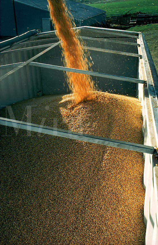Grains of corn pour into a truck.
