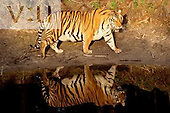 A Bengal Tiger and its reflection in the water. ,Panthera tigris,