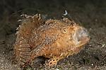Hairy frogfish (Antennarius striatus) hunting