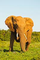 Port Elizabeth, South Africa (Sunday, July 17, 2011) - Elephant Cow. Addo Elephant National Park. The park is a sanctuary to a multitude of game species and abundant birdlife including over 500 Elephants, Lions, Black Rhinos, Buffalos, Leopards and Zebra.  Photo: joliphotos.com