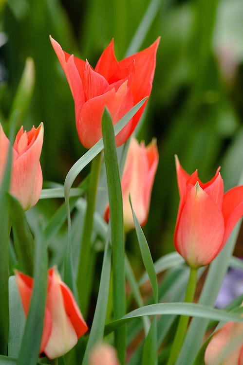 Tulipa linifolia, mid May.