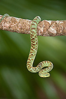 489000001 a captive pale green and brown banded variable bush viper atheris squamigera sits coilded on a limb species is native to the democratic republic of the congo
