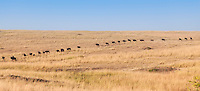 Line of wildebeest crossing the plains during the annual migration in the Masai Mara Reserve, Kenya, Africa (photo by Wildlife Photographer Matt Considine)
