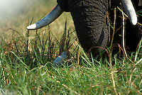An elephant (loxodonta africana) is grazing as a cattle egret (bubulcus ibis) is hunting the insects disturbed by the giant. Botswana's Chobe National Park is full of elephants - at times an estimated 25.000 animals along 42 kilometers of river front. The huge number of hungry elephants have a disastrous impact on the forest - many areas looks like a moon landscape.<br /> Sedudu Island in the Chobe River, Botswana.<br /> September 2007.