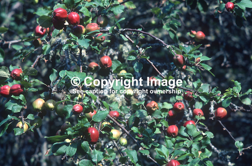 Apples, wild, type not known, vicinity, Lough Eske, Co Donegal, Rep of Ireland, 198000000392..Copyright Image from Victor Patterson, 54 Dorchester Park, Belfast, United Kingdom, UK...For my Terms and Conditions of Use go to http://www.victorpatterson.com/Victor_Patterson/Terms_%26_Conditions.html