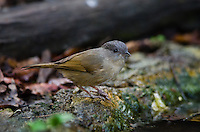 The Brown Fulvetta (Alcippe brunneicauda) is an Old World babbler. (Kaeng Krachan, Thailand)
