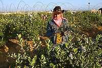 Agriculture - A woman field worker harvests blueberries in late Spring early morning light / near Delano, San Joaquin Valley, California, USA.