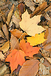 Autumn leaves on forest floor, Eno River State Park, North Carolina