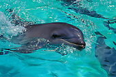 A close-up view of bottle-nosed dolphins in clear, light turquoise blue water